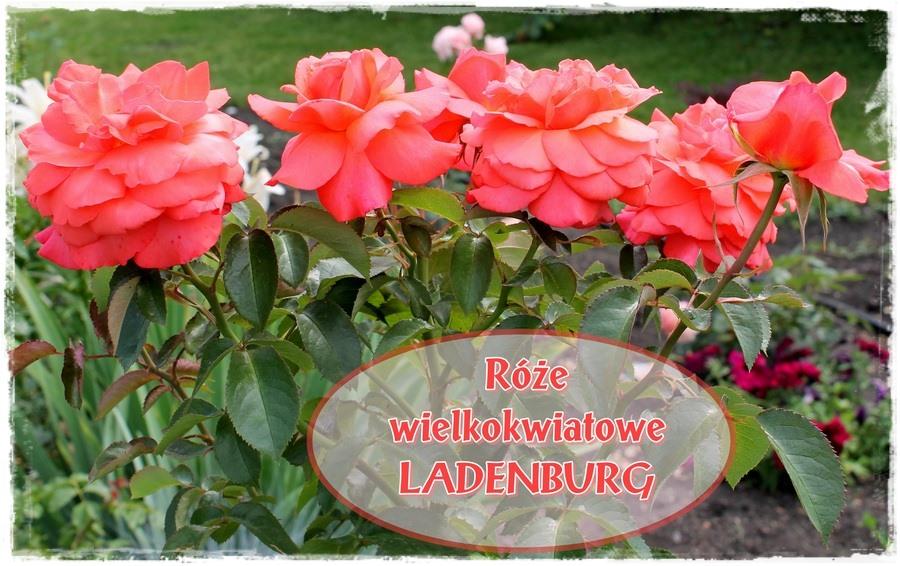 wielkokwiatowe róże pomarańczowe Ladenburg