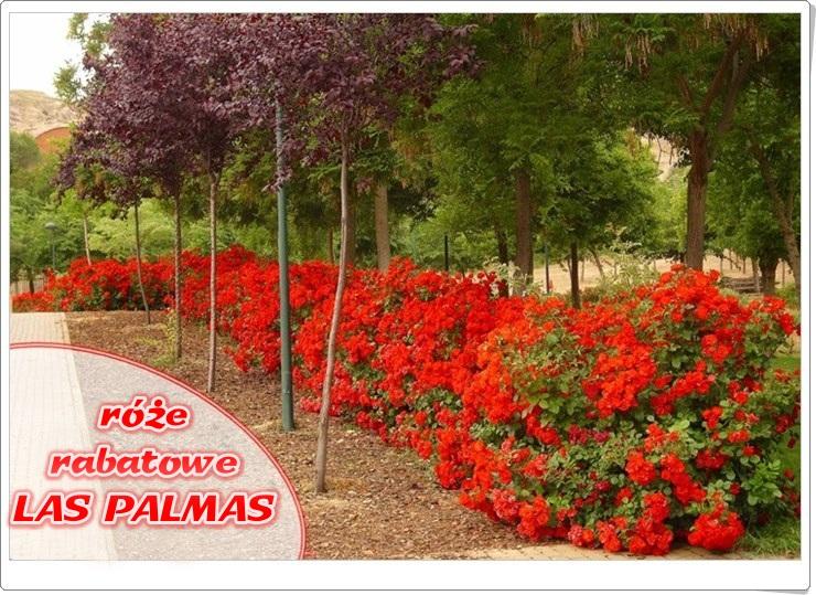 las-palmas-roze-rabatowe