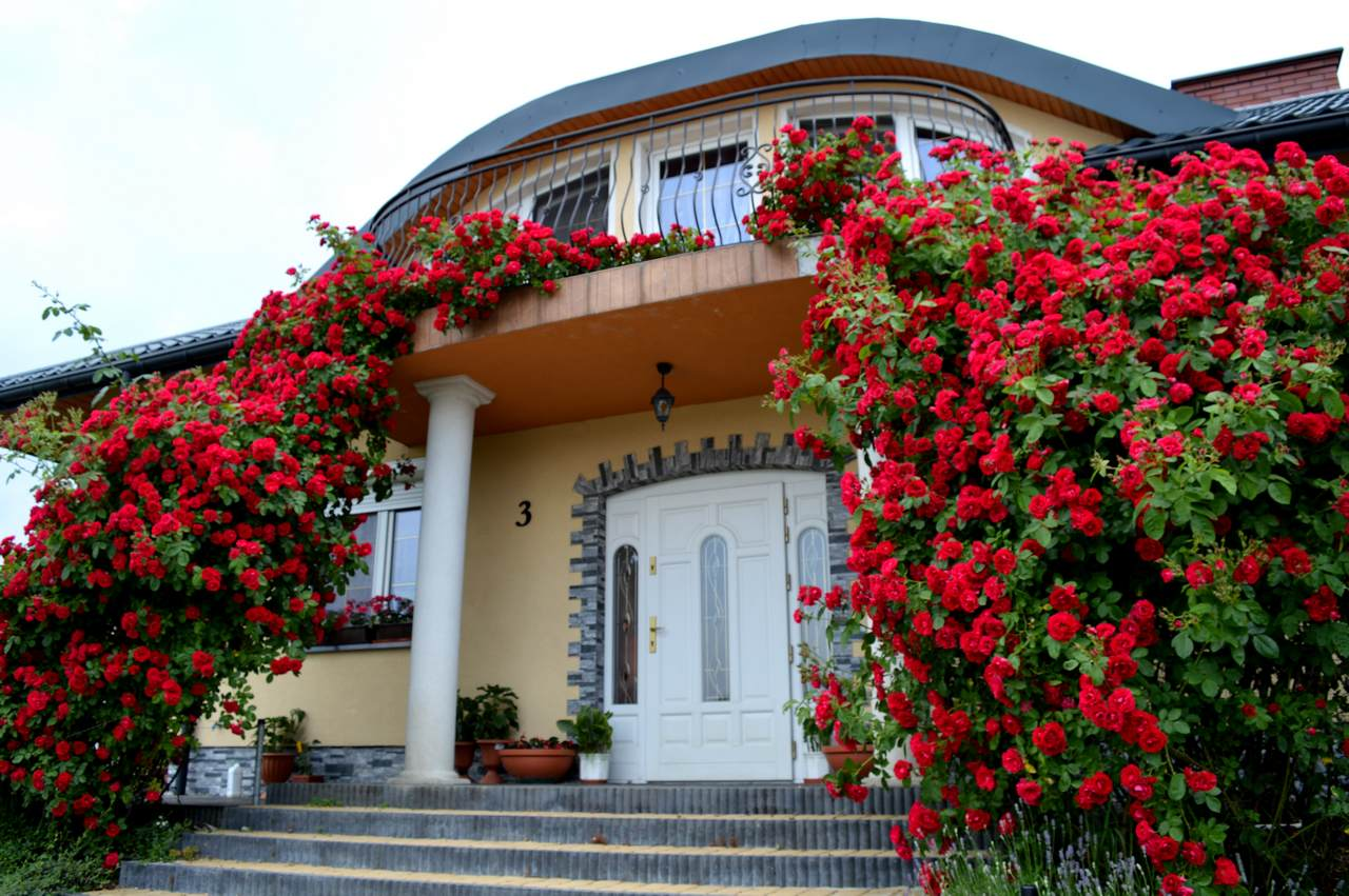 czerwone róże pnące