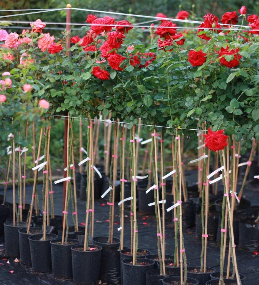 róże na pniu