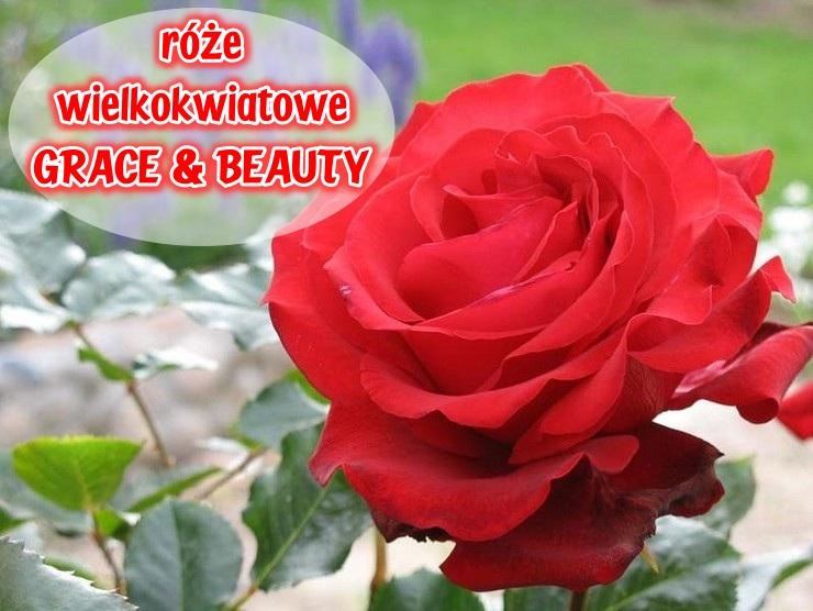 Grace-and-beauty-roze-wielkokwiatowe