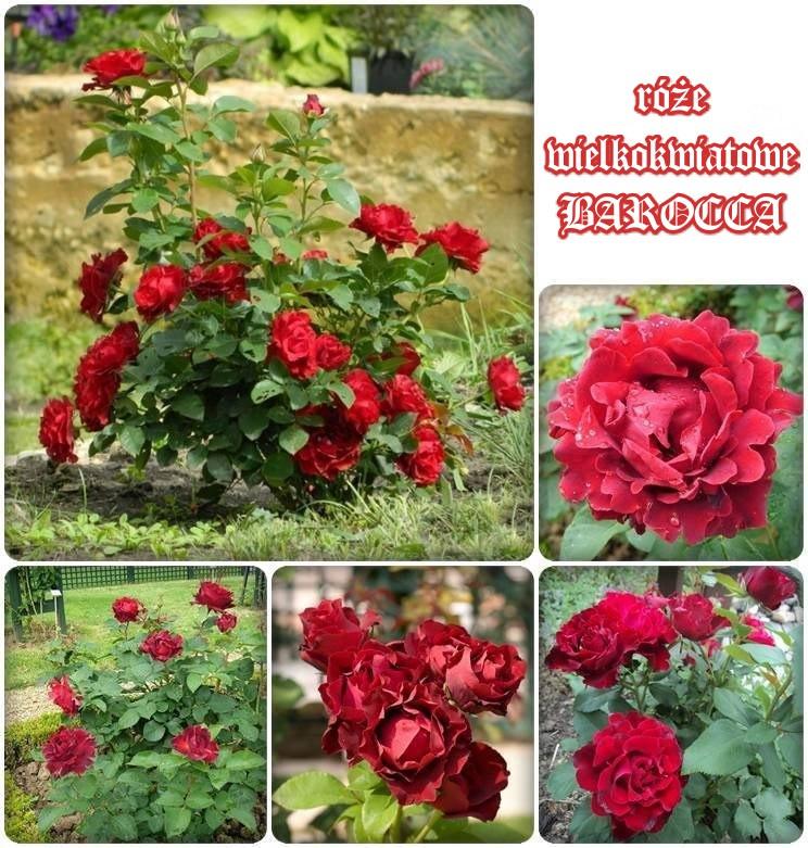 Barocca róże wielkokwiatowe