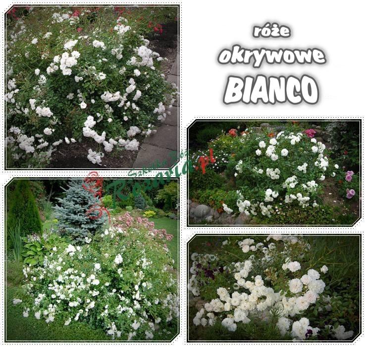 Bianco róże okrywowe