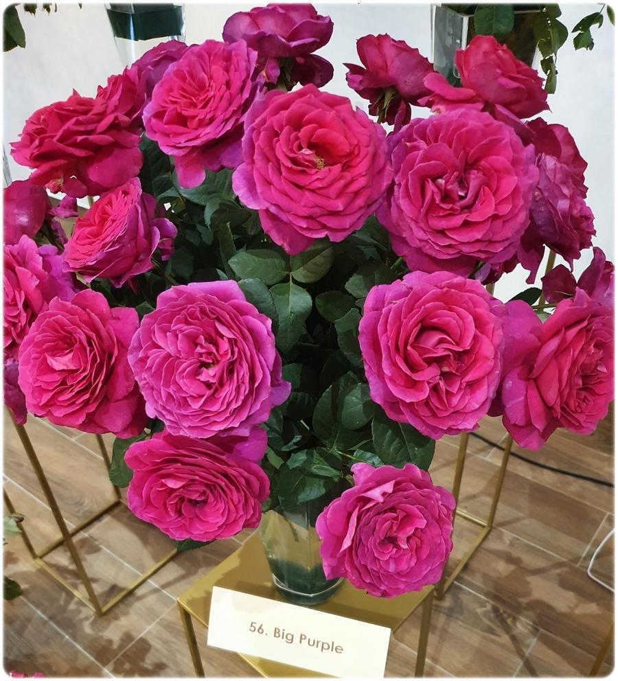 big purple roze wielkokwiatowe