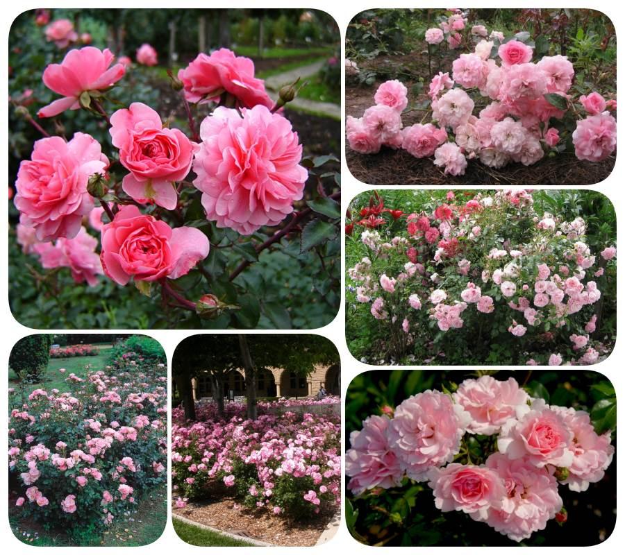 rabatowe róże Bona