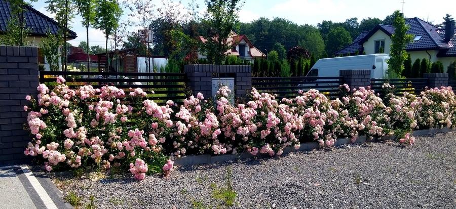 różowe rabatowe róże Bona