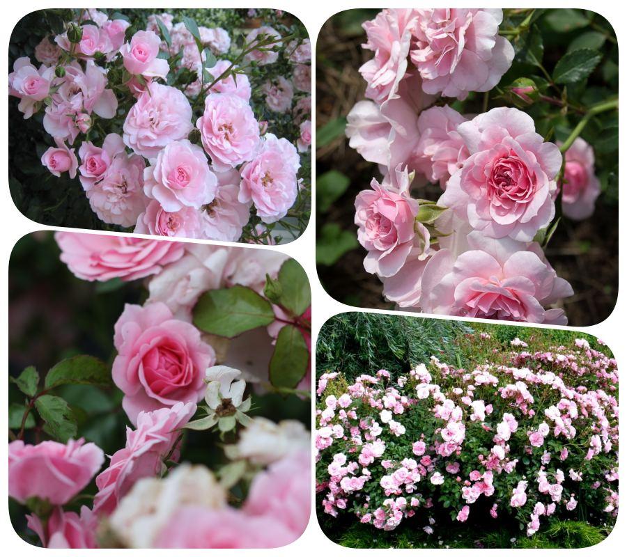 rabatowe różowe róże Bona