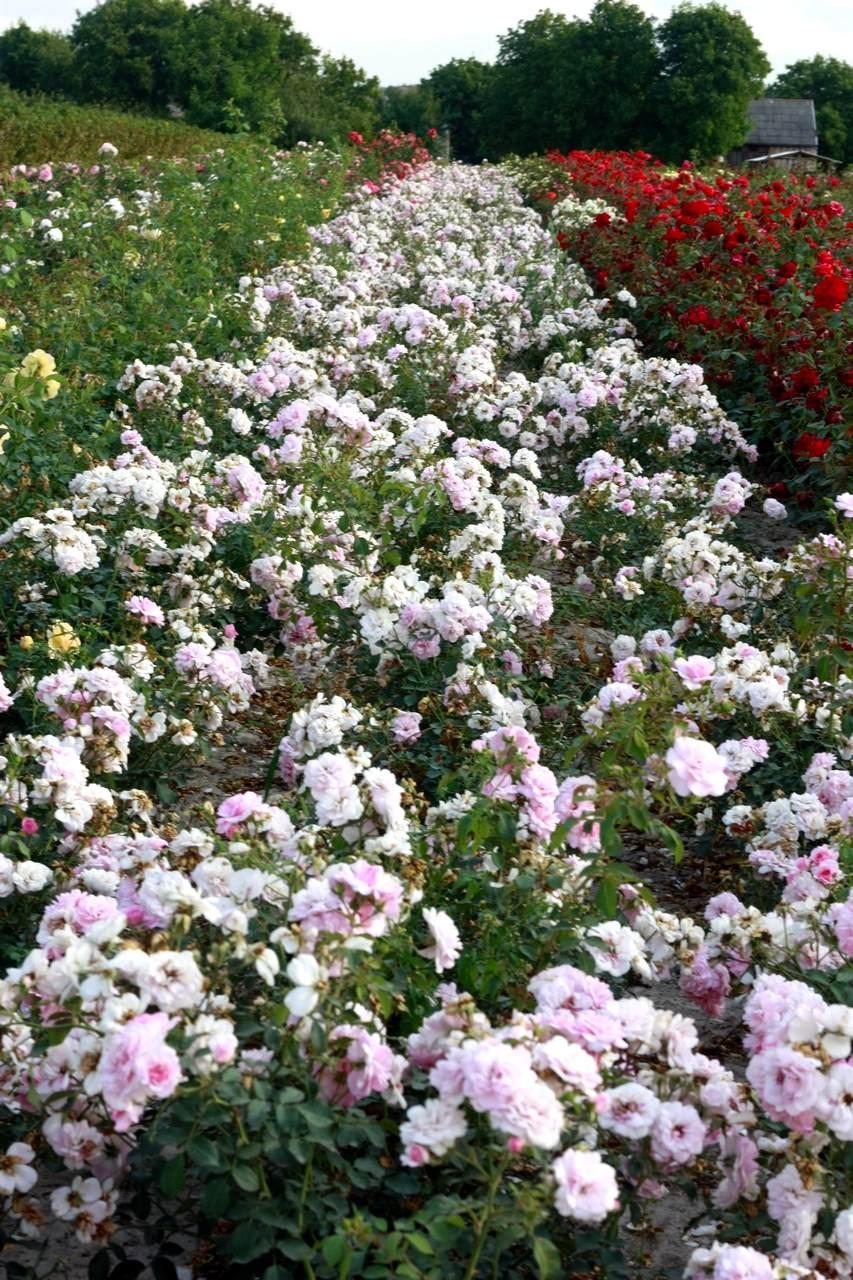 różowe róże rabatowe Bona