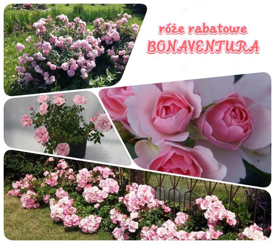 Bona róże rabatowe