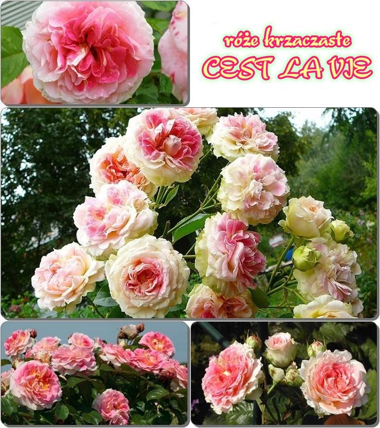 Cest la vie róze krzaczaste