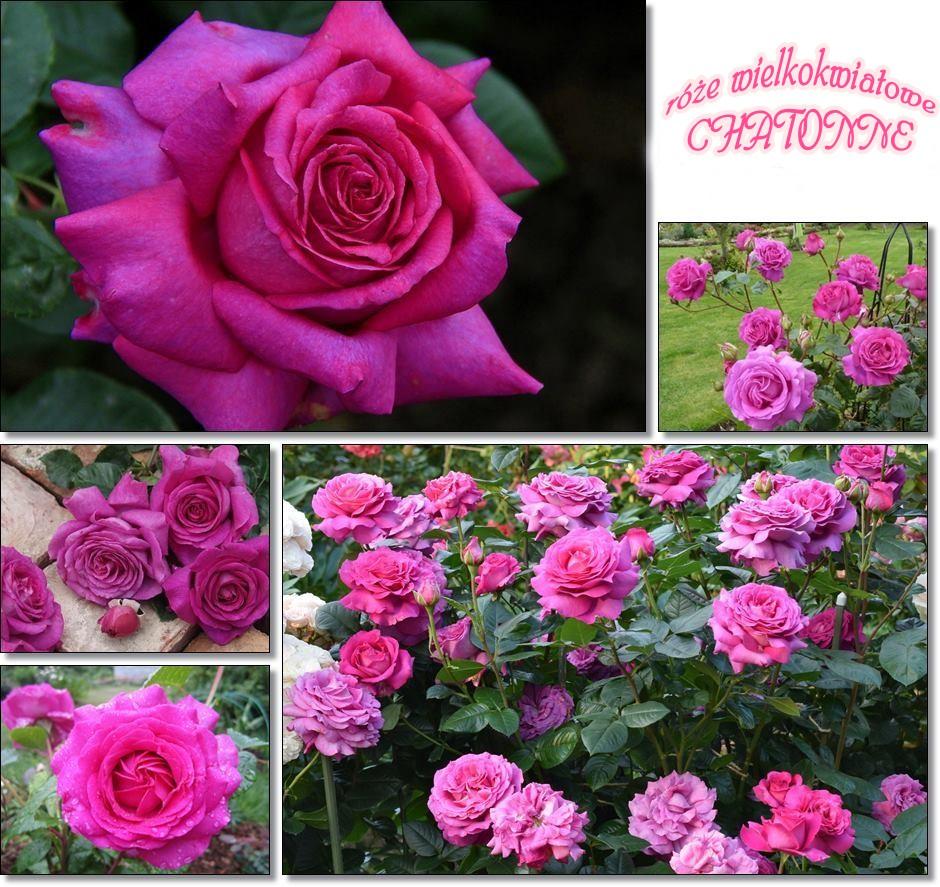 Chatonne pachnące róże wielkokwiatowe