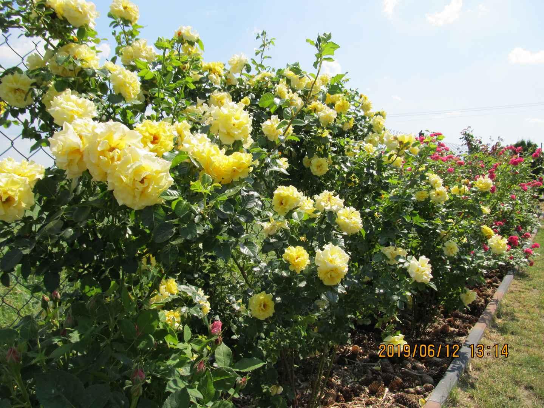 Róże krzaczaste Chinatown