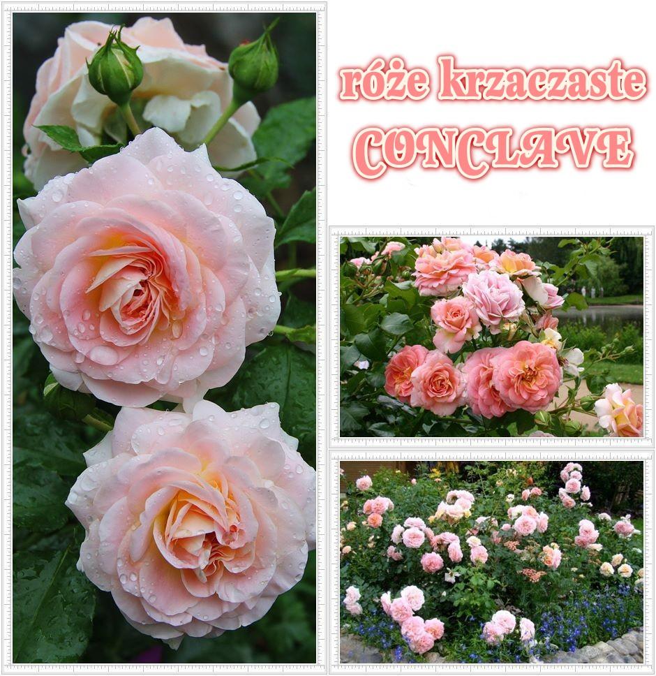 Conclave róże rabatowe