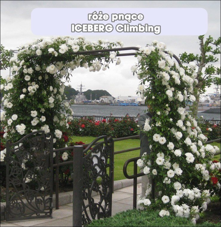Iceberg clb. róże pnące