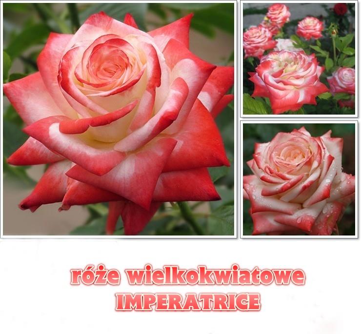 róże wielkokwiatowe imperatrice