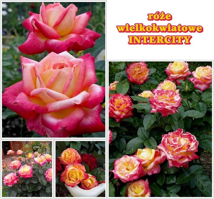 Intercity róże wielkokwiatowe