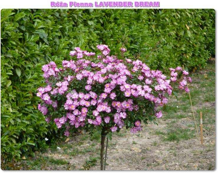 pienne roze Lavender Dream