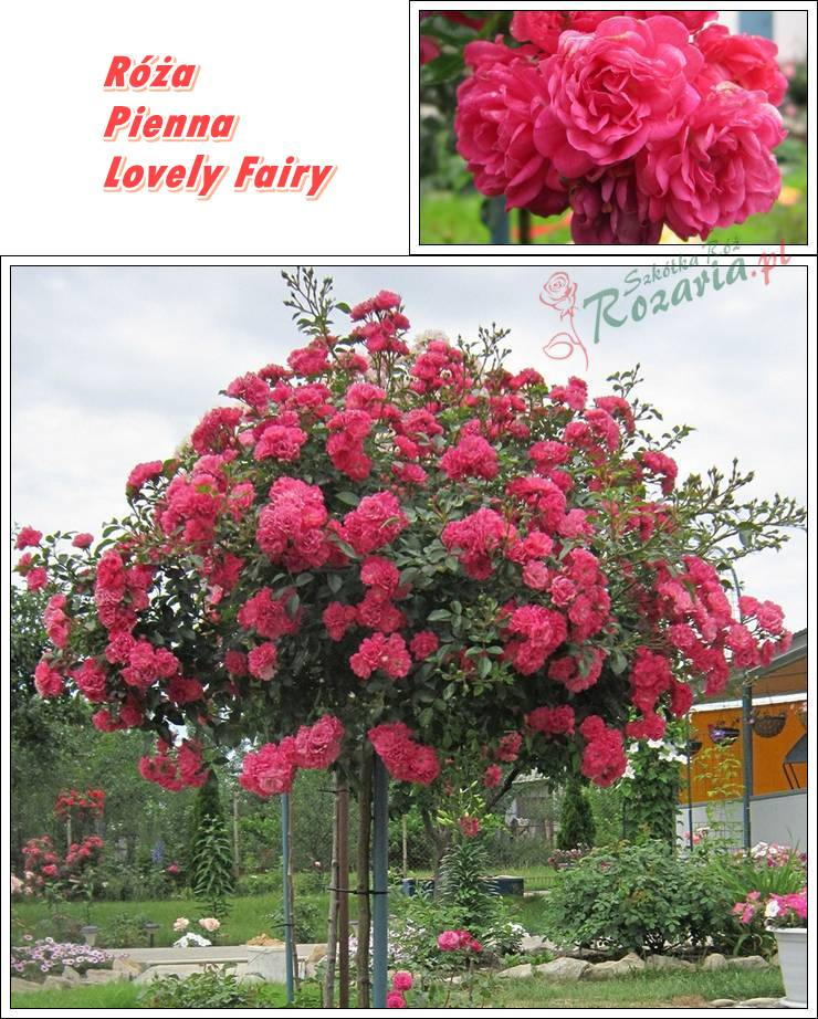 pienne roze Lovely Fairy