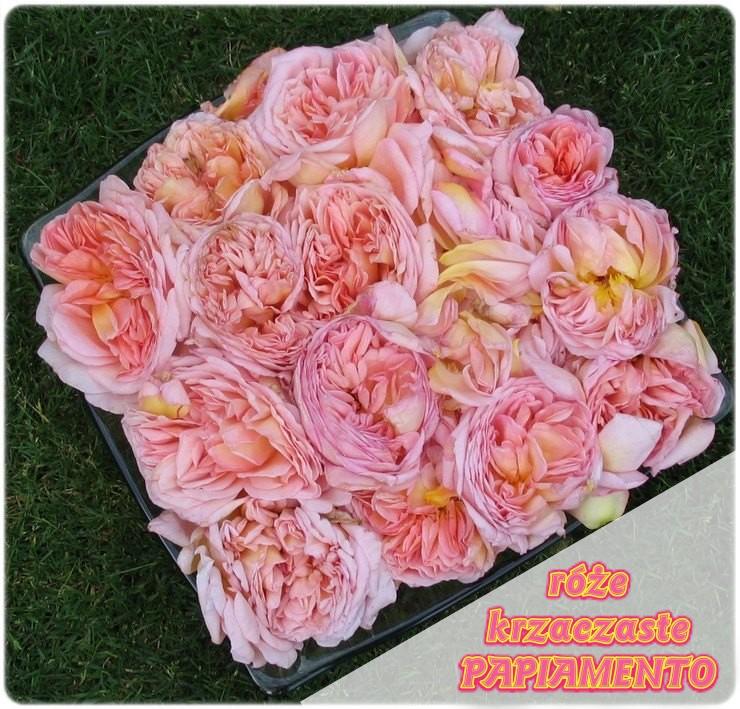 papi delbard róże krzaczaste