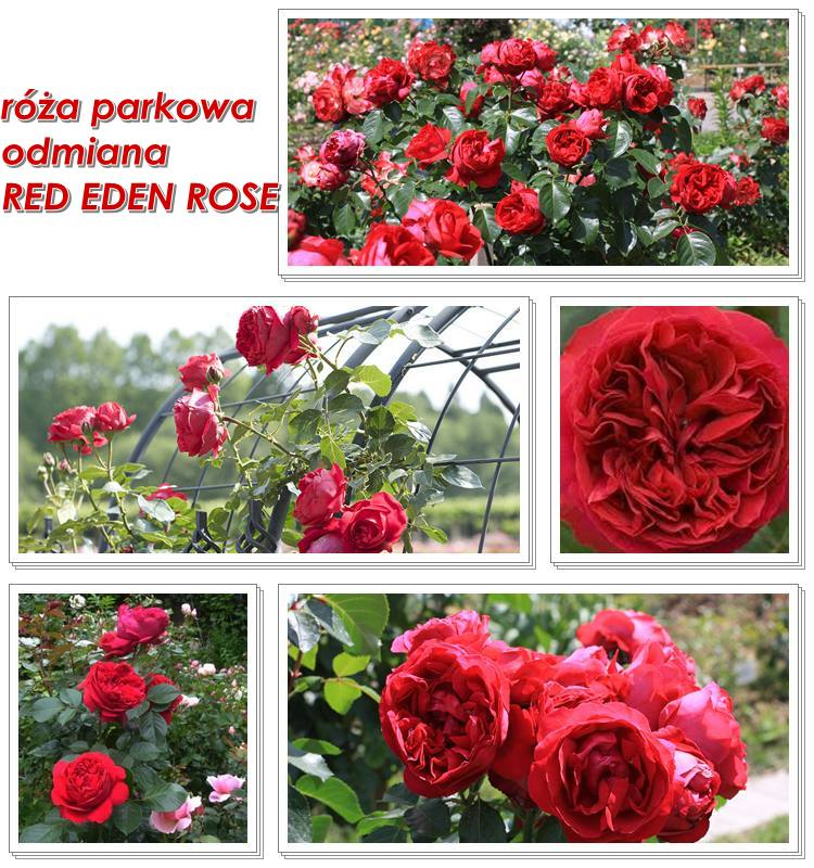 roże parkowe Red Eden Rose