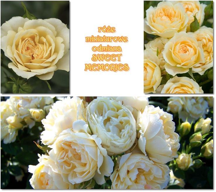 sweet memories róże miniaturowe