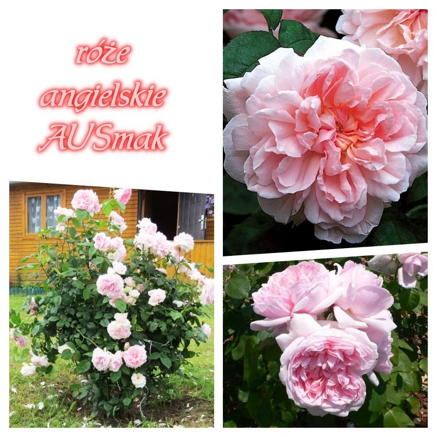 ausmak eglantyne róze angielskie