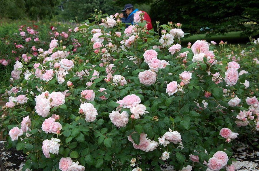 róze angielskie ausmak eglantyne