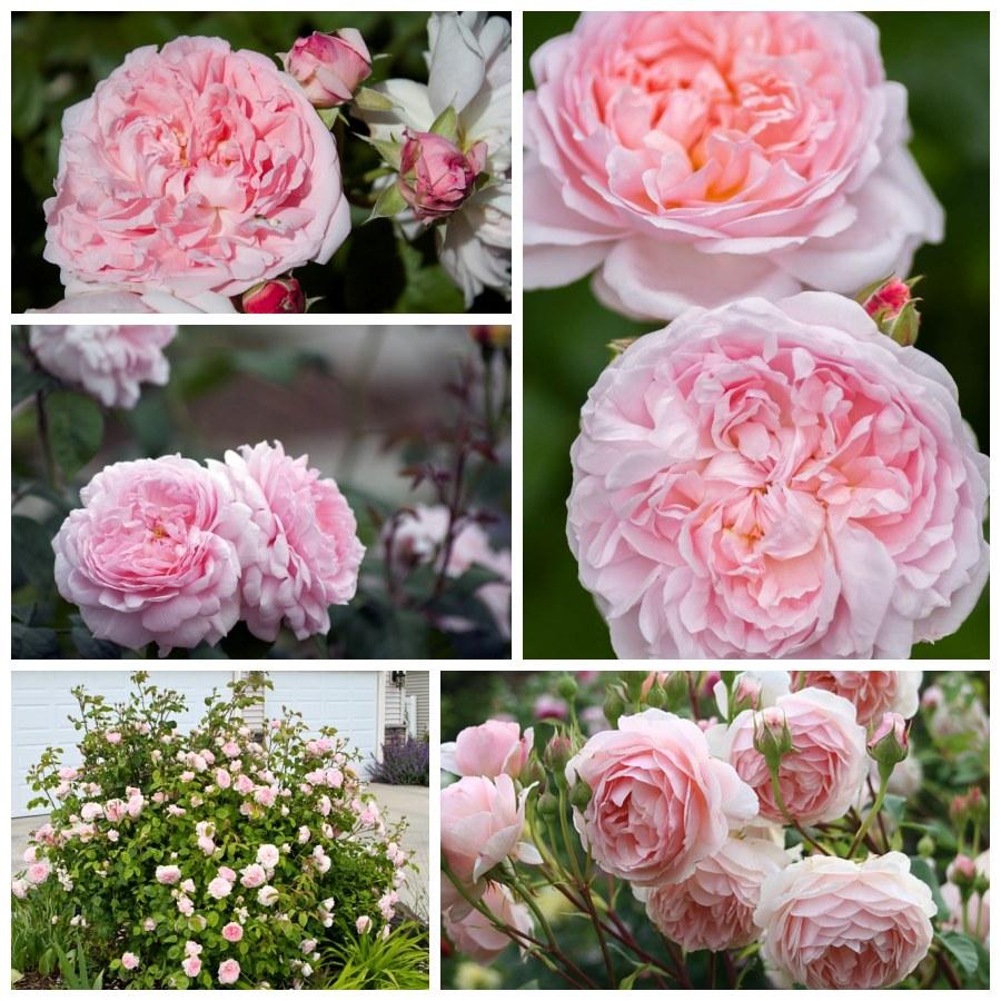 różowe róże angielskie ausmak eglantyne