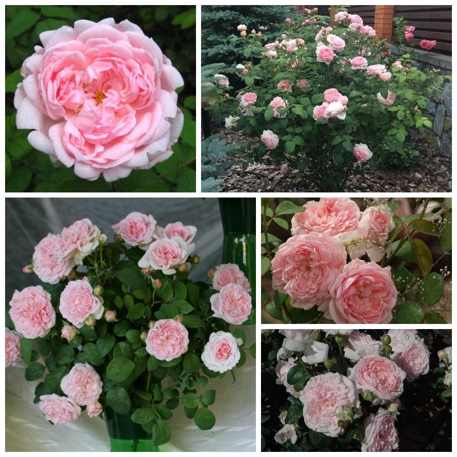 ausmak eglantyne pachnące róże angielskie