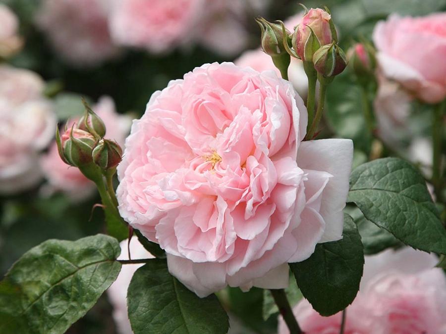 pachnące róże angielskie ausmak eglantyne