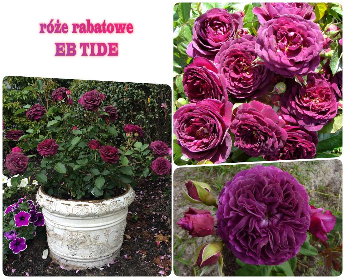 ebb tide pachnące róże rabatowe
