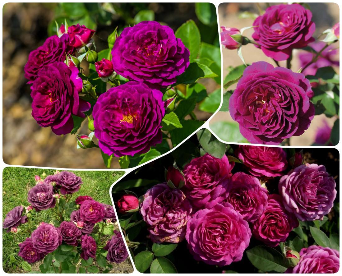 róże rabatowe pachnące ebb tide