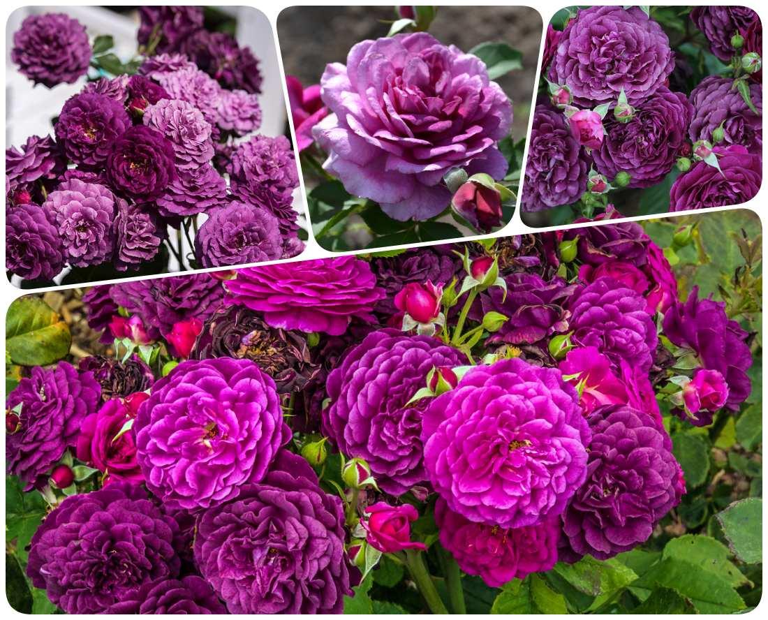 ebb tide róże rabatowe pachnące