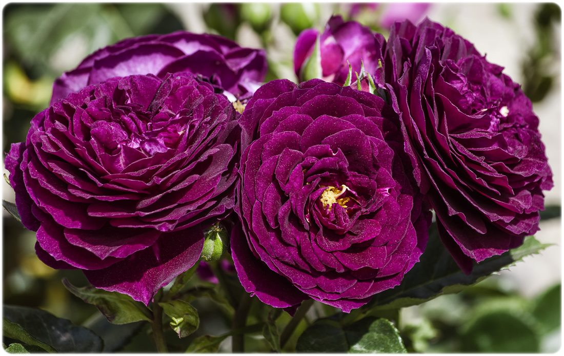 pachnące róże rabatowe ebb tide