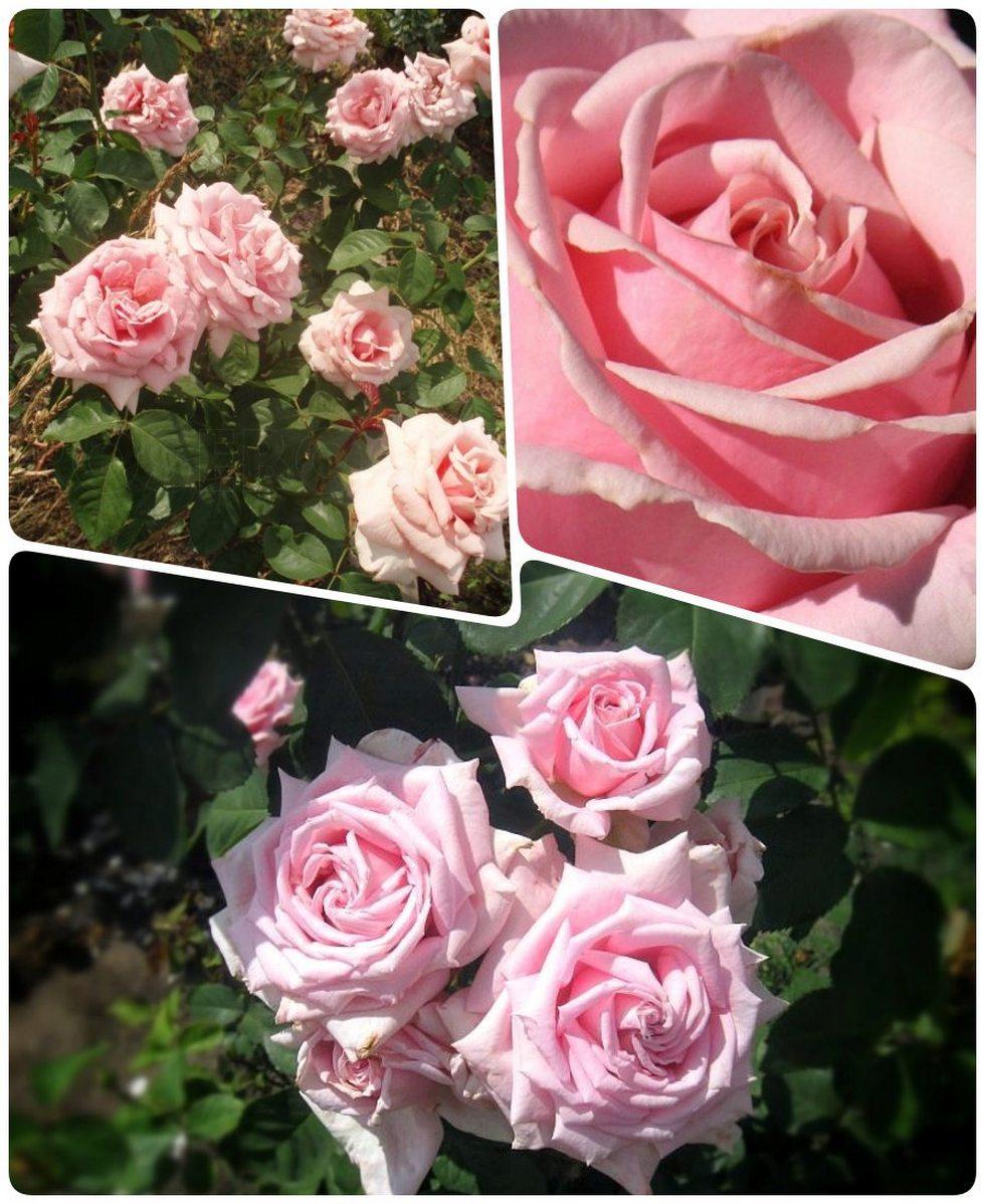 Freddie wielkokwiatowe róże pachnące