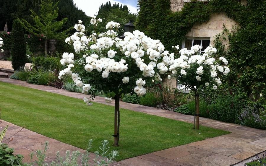 ice wind białe róże pienne