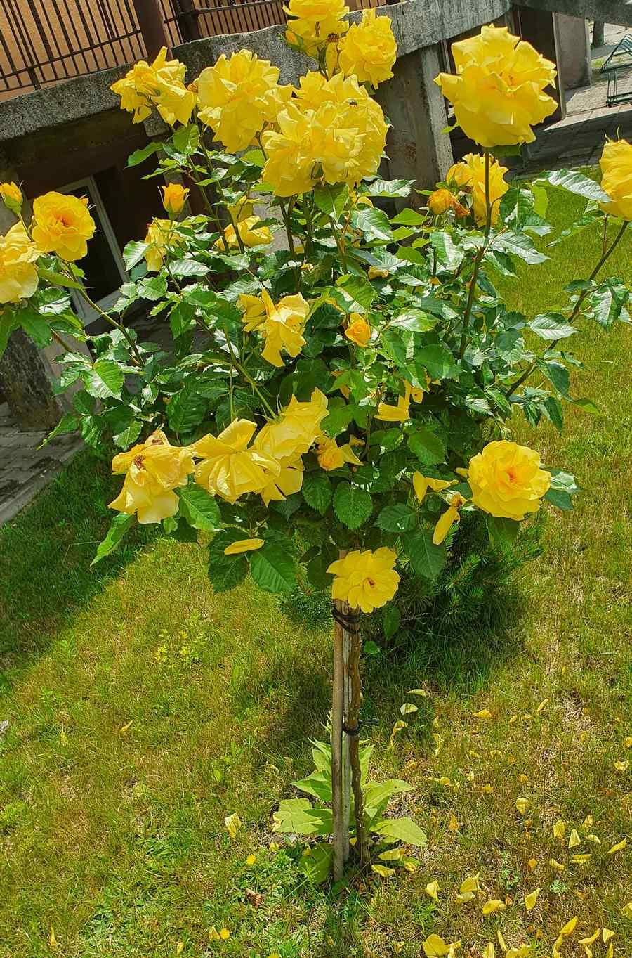 korresia róże pienne