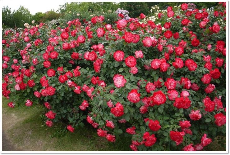 polonica róże rabatowe wielobarwne