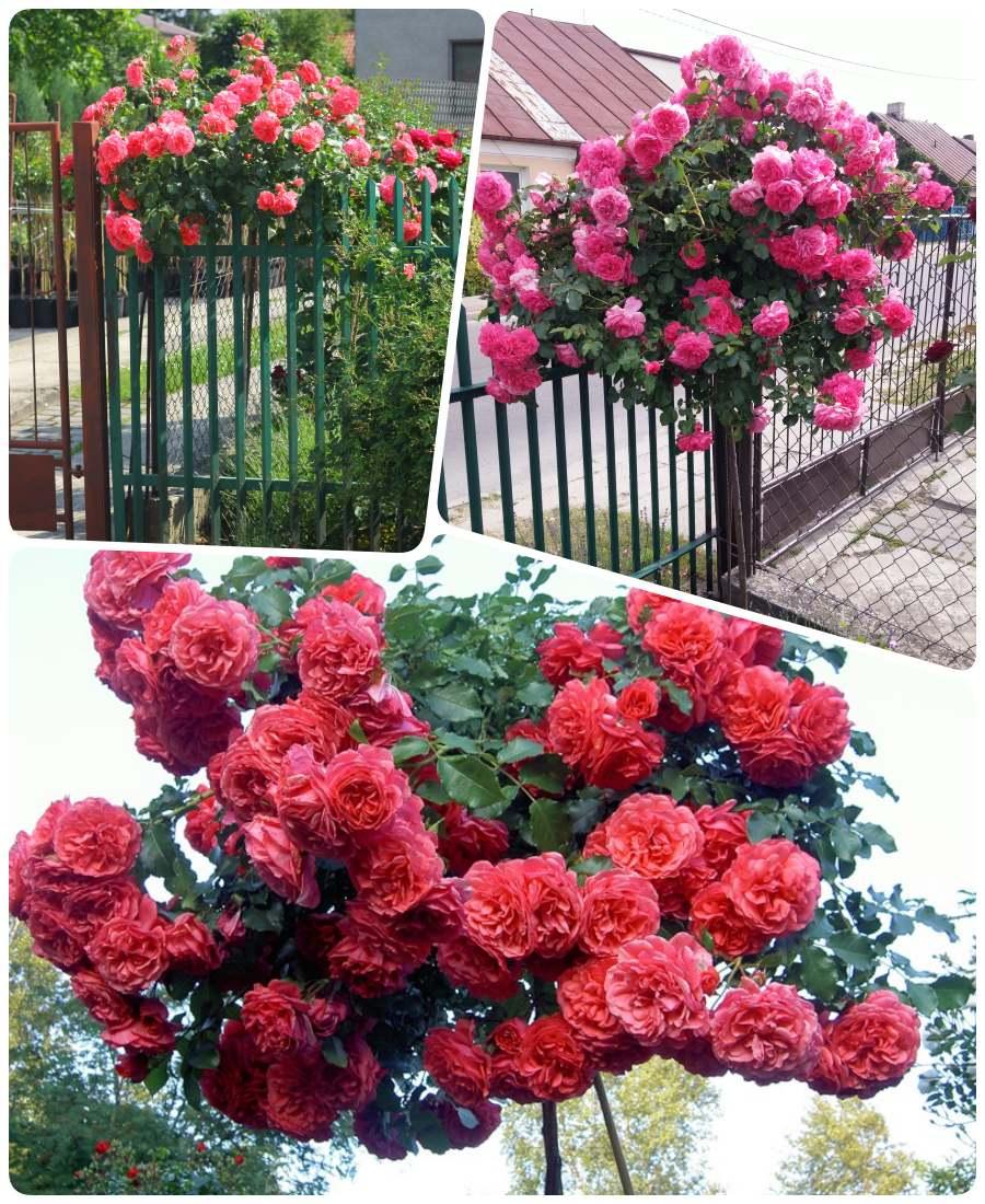 rosarita rozowe roze pienne