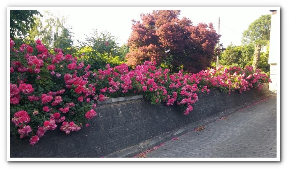 rosarita roze pnace