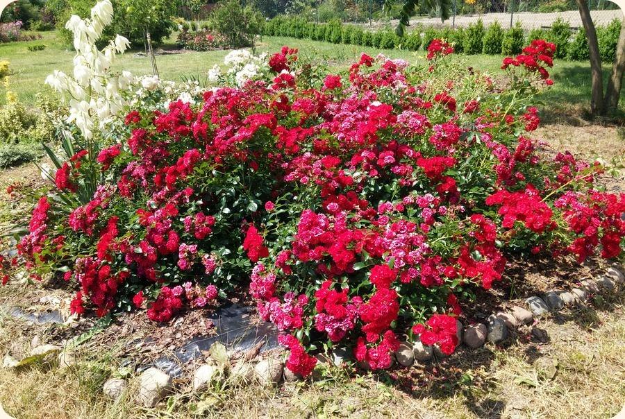 scarlatto czerwone róże okrywowe