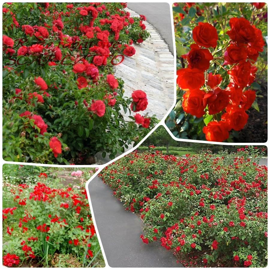 scarlatto okrywowe róże