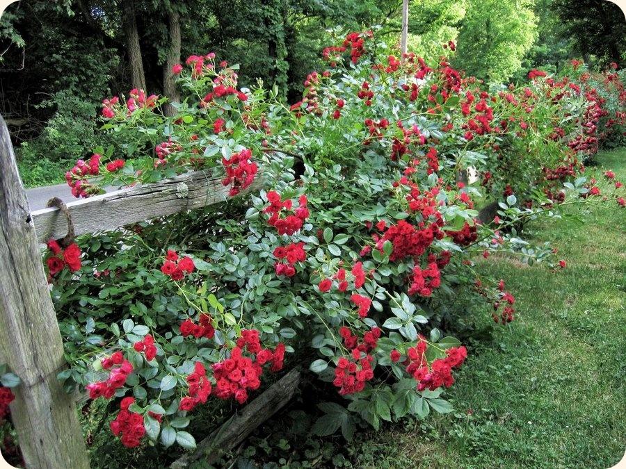 scarlatto róże okrywowe