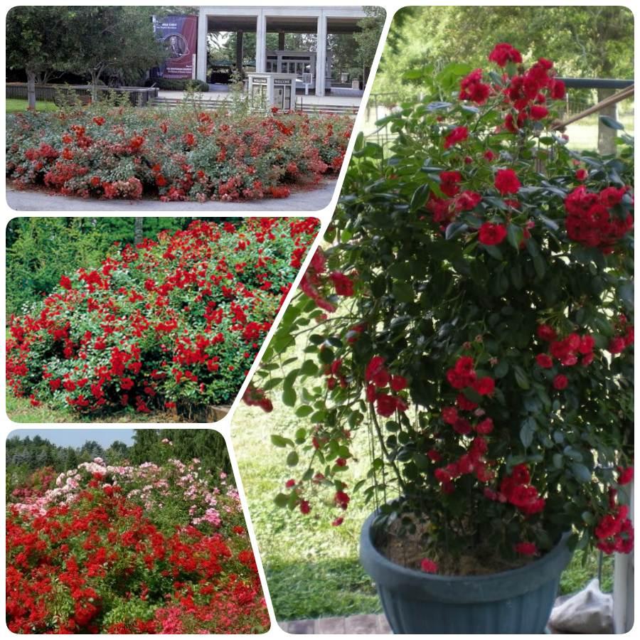 róże okrywowe scarlatto