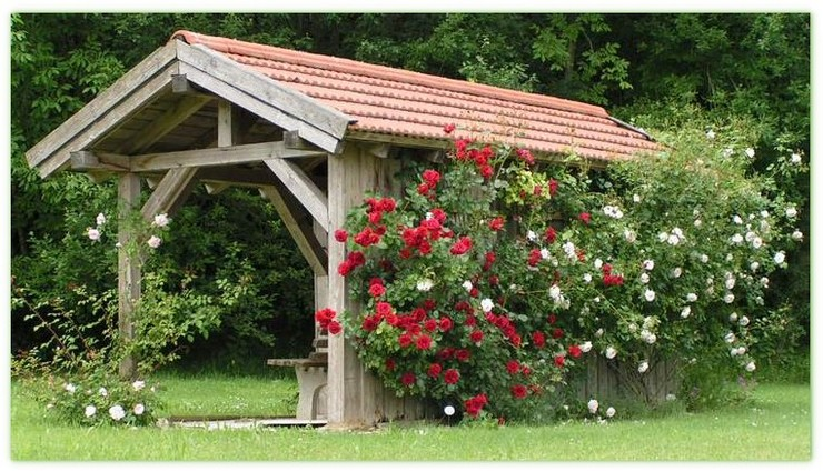 róże pnące symfonia & new dawn