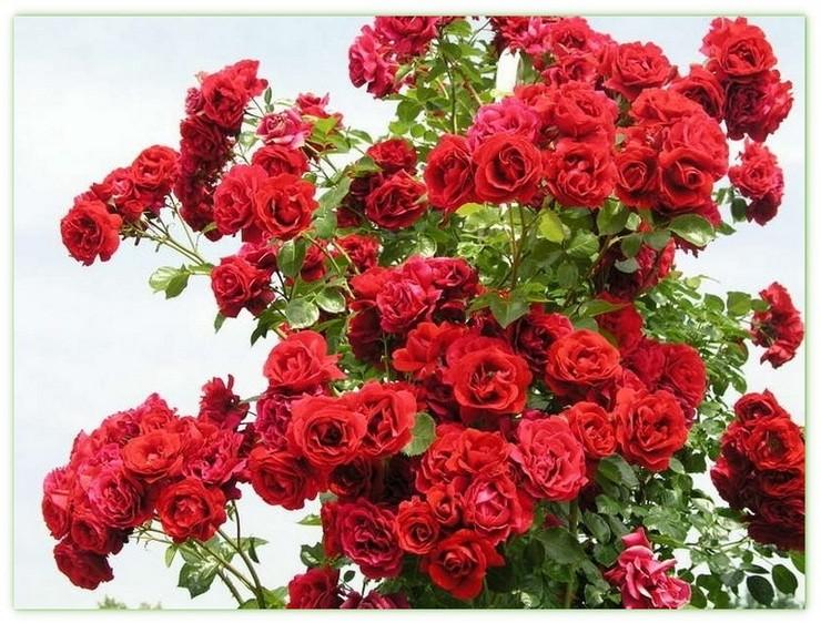 pnące róże symfonia