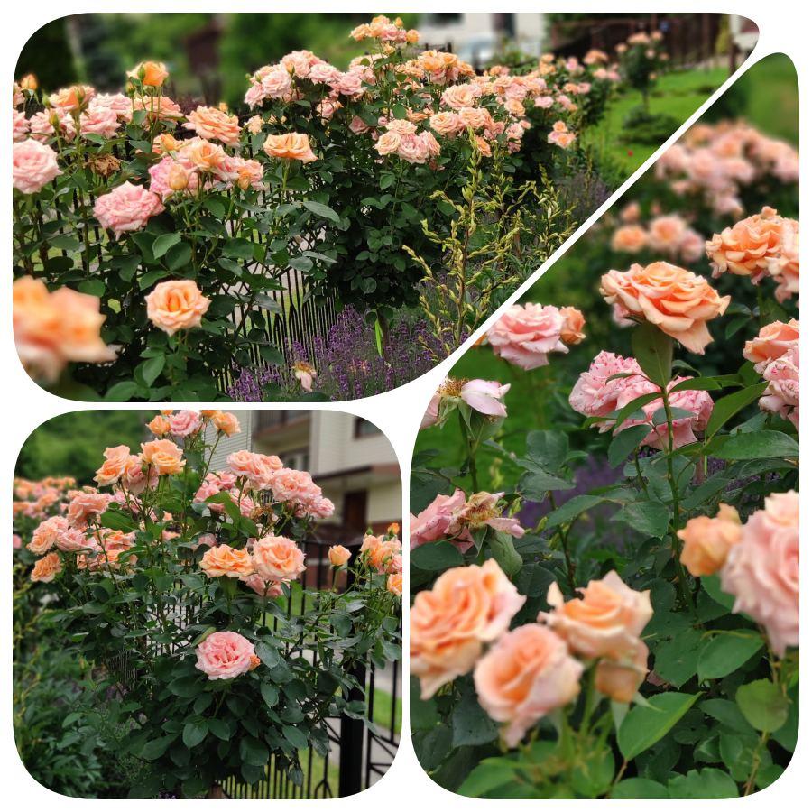 warm wishes róże pienne Pani renaty