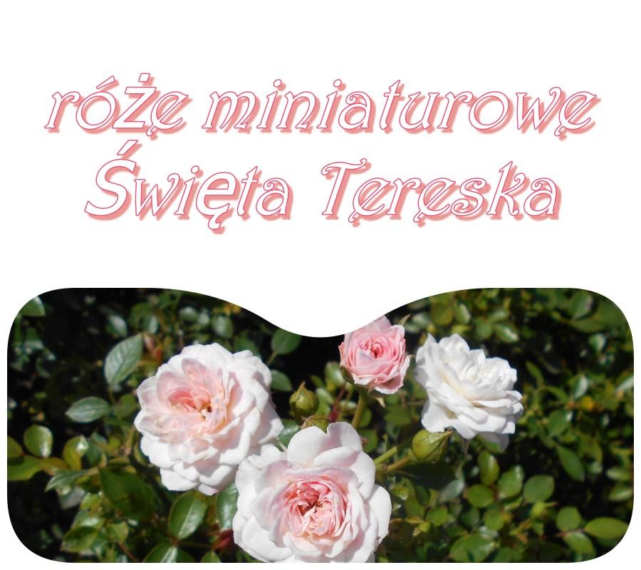 Święta Tereska róże miniaturowe polskie