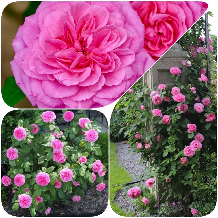 ausbord róże angielskie pachnące