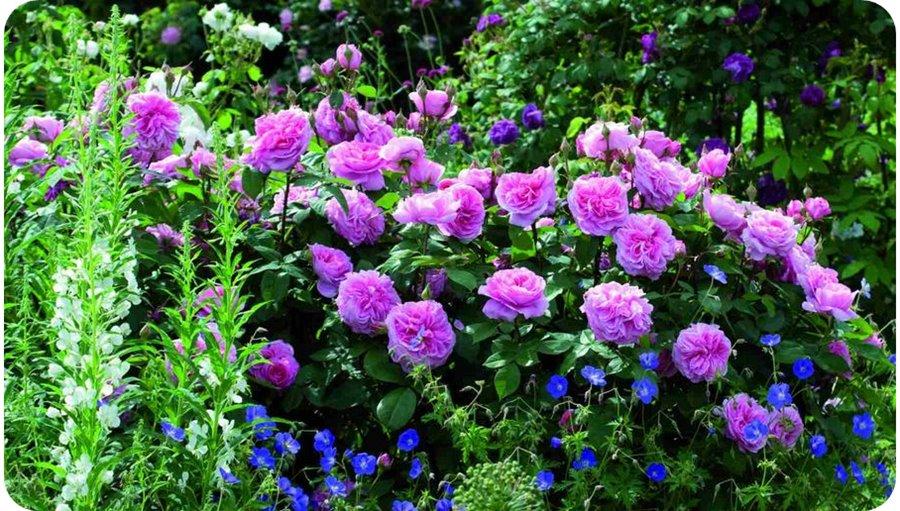 ausbord pachnące róże angielskie
